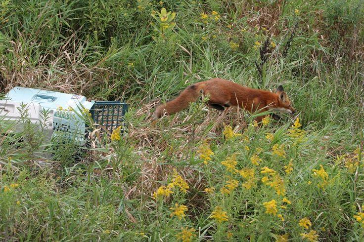 #salthaven #wildlife #release #rehabilitation #fox
