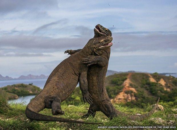 Andrey-Gudkov registrou briga de dragões-de-komodo no Parque Nacional de Komodo, na Indonésia  (Foto: Andrey-Gudkov/ Wild Photographer of the Year)