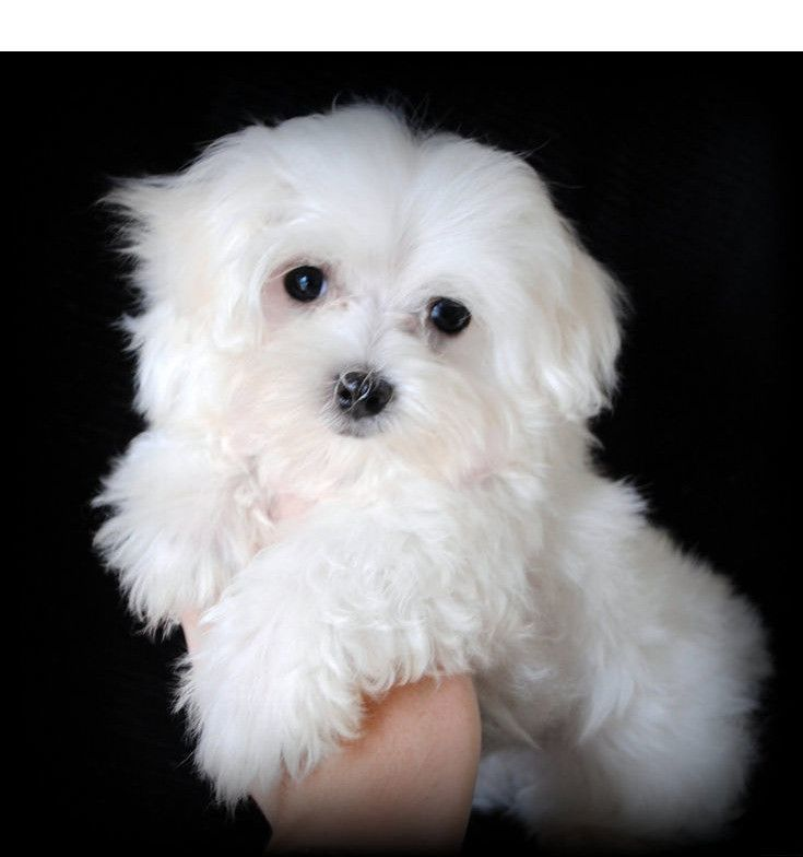 Learn More About Malta Click The Link To Learn More Viewing The Website Is Worth Your Time Maltese Maltese Puppy Maltese Dogs Care Maltese Dogs