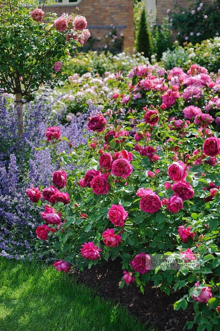 319 best Roses images on Pinterest | English roses, Garden roses and ...