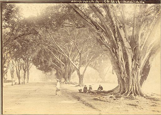 Waringin te Malang, Java, Indonesië (1883)