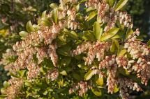 Shrubs That Thrive in the Shade: Andromeda: Shrubs for Shade That Are Evergreen, Flowering