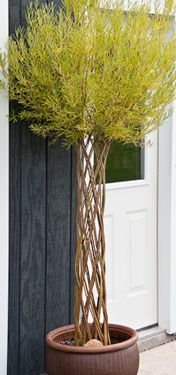 twisted willow tree | Willow weaving workshops. Pinned for inspiration for living willow structures in garden