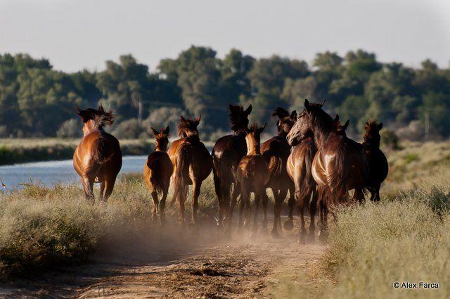 Cai sălbatici pot fi întâlniți în Delta Dunării. Grupul acesta alerga în fața mașinii noastre.