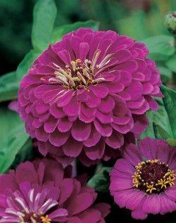 Zinnia  Livfullt och exotiskt utseende och andå lätt att odla. Plantorna ger ett dramatiskt intryck i kantrabatten och som snittblomma. [30,00kr]