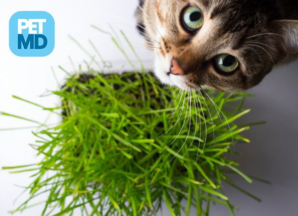 Is Catnip A Drug For Cats Cat Grass Houseplants Safe For Cats Indoor Cat Garden