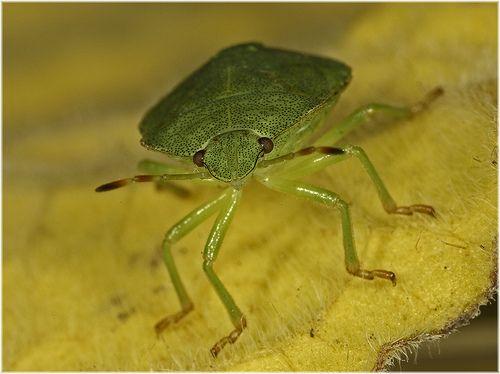 Green shield bug (Polemena prasina)