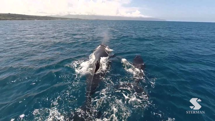 Using my Dronefly and Gopro Hero 3+, I was able to catch these beautiful whales enjoying the ocean over 3 separate days on the North Shore of Oahu, my favorite being the pod of whales swimming through the wave lineup at Pipeline. While I filmed from land, the whales ranged anywhere from a mile out at sea to close to the shore. A truly awesome experience. Dronefly http://www.dronefly.com/?Click=4211 For more videos: http://instagram.com/ericsterman/ http://www.ericsterman.com/