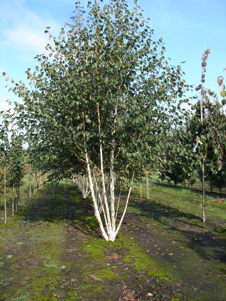 Betula utilis ssp 'Doorenbos' (Witstammige zuilberk), multistam, zeer witte schors; nog witter dan bij andere soorten.
