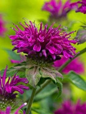 Monarda Purple Rooster
