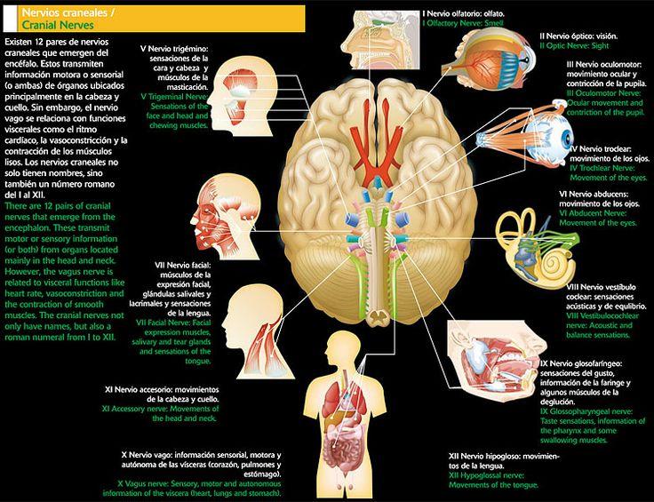 M s de 25 ideas incre bles sobre nervios craneales en for 12 paredes craneales