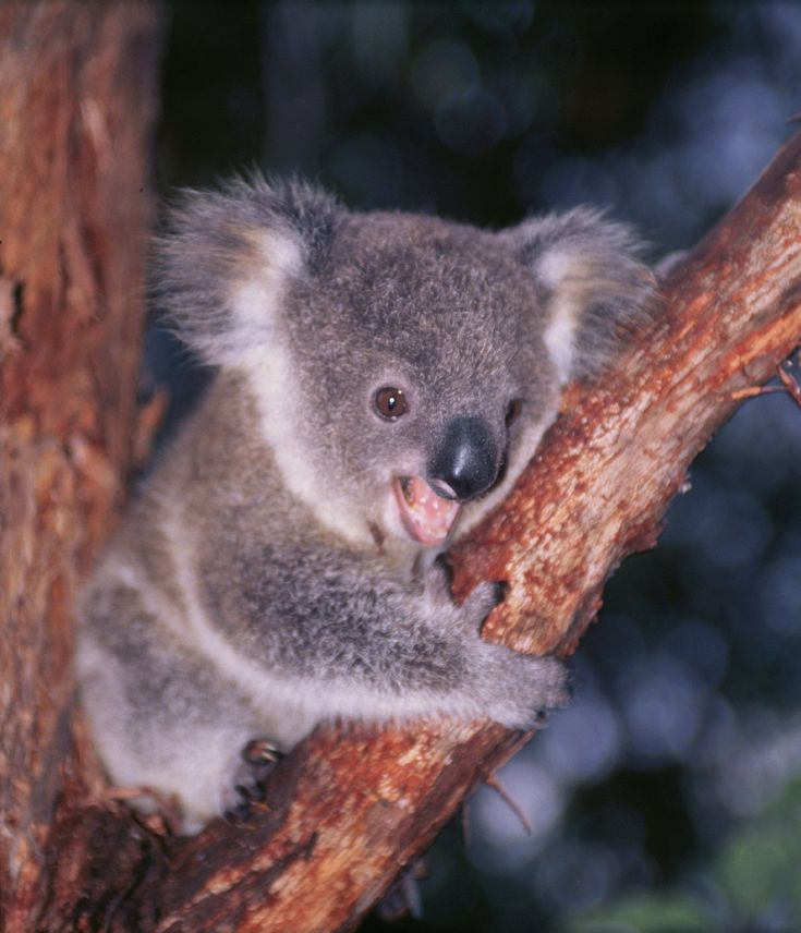 "Nature (Season 30) - ""Cracking the Koala Code"" 