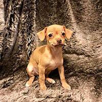 Lake Forest, California - Chihuahua. Meet Miller, a for adoption. https://www.adoptapet.com/pet/19975865-lake-forest-california-chihuahua-mix