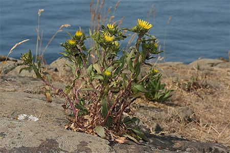 GRINDELIA SQUARROSA  is known for its anti-inflammatory, antispasmodic, expectorant, and mild pain-relieving properties. It has been used as a treatment for asthma, bronchitis, and other upper respiratory tract ailments since the time of the Native Americans. Grindelia has also been used to treat chronic bladder infections.  This herbal extract can be used topically to treat burns, skin rashes, insect bites, and other skin problems including as a treatment for poison oak and poison ivy.