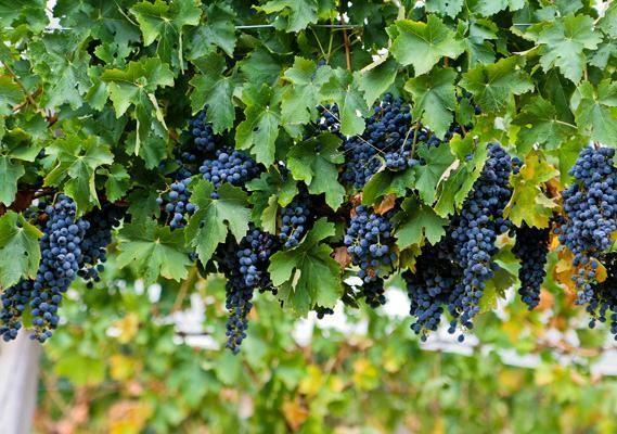 Cyprus - Black grapes, Paxna village