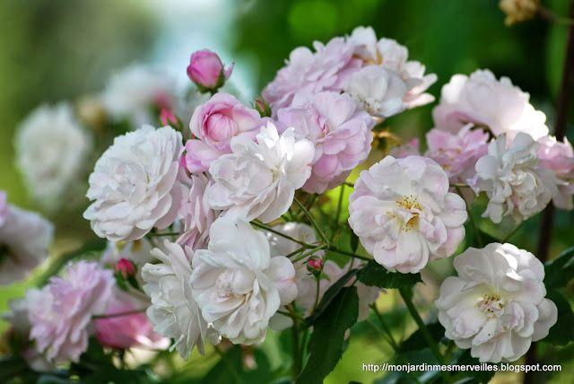 blush noisette : Les 5 plus longues floraisons de rosiers haut 90-200 cm, très remontant, supporte la mi-ombre