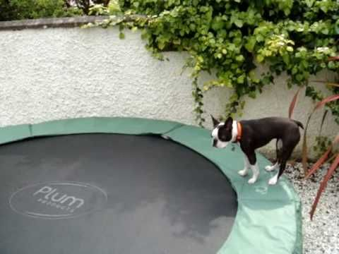 Bahaha!!! Boston Terrier meets trampoline. Worth a watch. I literally laughed out loud! If you have a Boston you'll totally get it :D Boston Terriers... smartest and dumbest dogs in the world, at the same time.