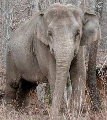"Our adopted elephant at the elephant sanctuary in TN - ""Debbie"" - Once a mistreated circus elephant, now lives on 2700 acres with her other rescued friends!  Isn't she cute☺?"