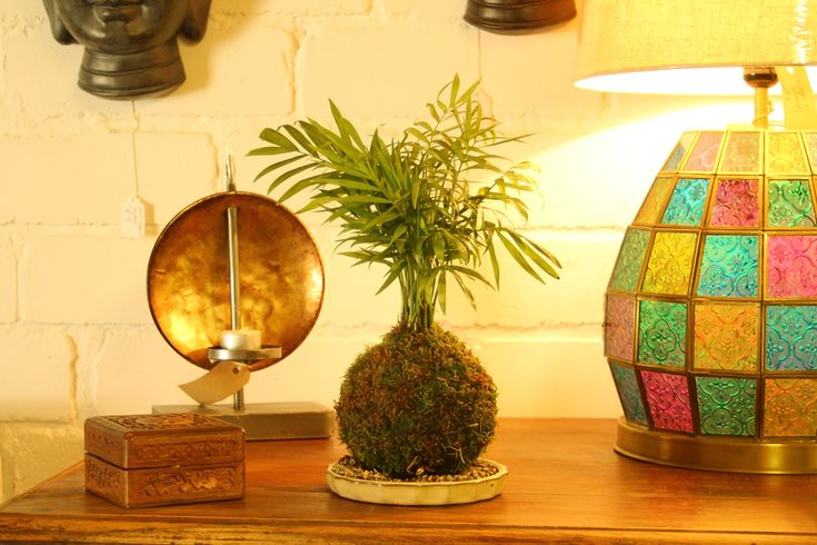 Kokedama Dwarf Palm at All Things Bonsai Sheffield Yorkshire available to buy online with free UK delivery