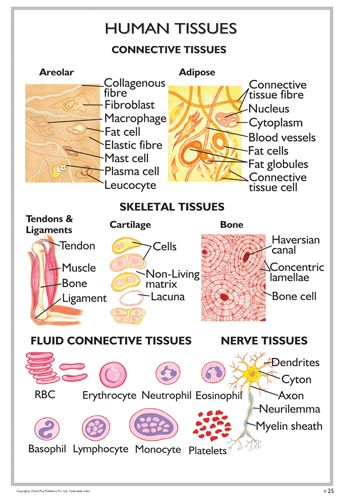 tissues of the human body pdf
