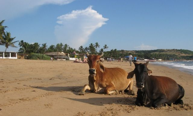 Με κάθε μας επίσκεψη σε κάποια παραλία ερχόμαστε κοντά στη Φύση. Τόσο κοντά όμως που να κυκλοφορούν ανενόχλητα ανάμεσά μας… αγελάδες… μόνο στην Ινδία μπορούμε να το βρούμε.
