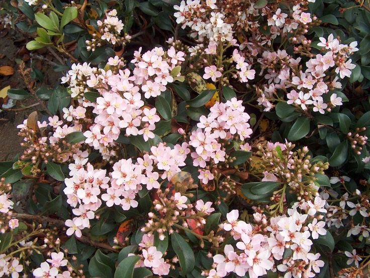 Indian hawthorn raphiolepis indica evergreen small for Pink flowering shrubs