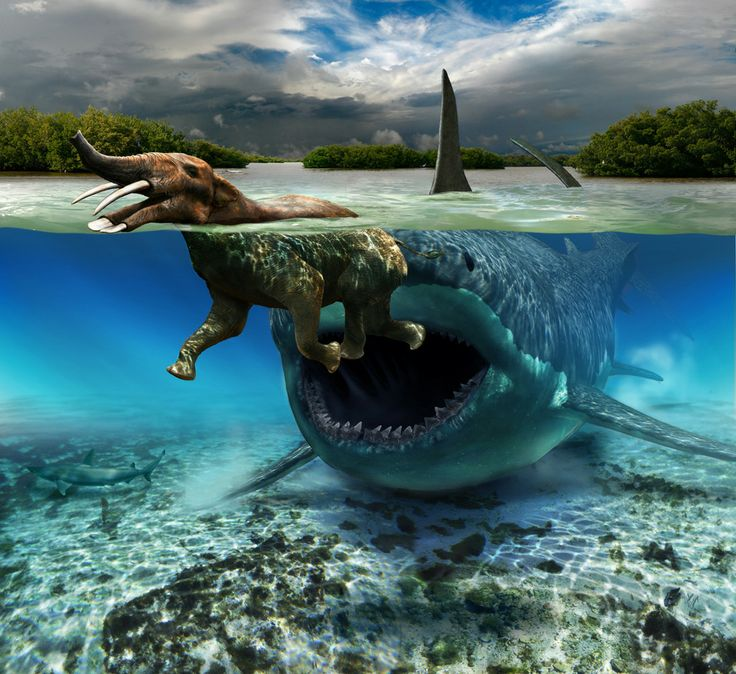 Carcharocles megalodon Snacking on a Platybelodon in Miocene Waters. This image depicts the probably rare but plausible encounter between the giant shark Carcharocles (jaw diameter estimated at eleven feet) and a medium-sized proboscidean, Platybelodon.