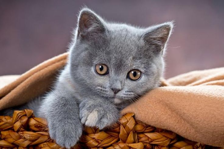 BKH Knutschkugel Kitten La Luna in blaue / creme...