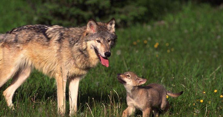 """A relação genética entre cães e lobos. Mais de 70 milhões de cães americanos oferecem às famílias sua lealdade e companhia. A relação genética entre estes cães e seus ancestrais lobos é muito mais próxima do que a maior parte dos donos imagina. Os cães domesticados são denominados """"canis lupus familiars"""", e, os lobos, """"canis lupus"""". Ainda que cães e lobos sejam espécies diferentes, ..."""