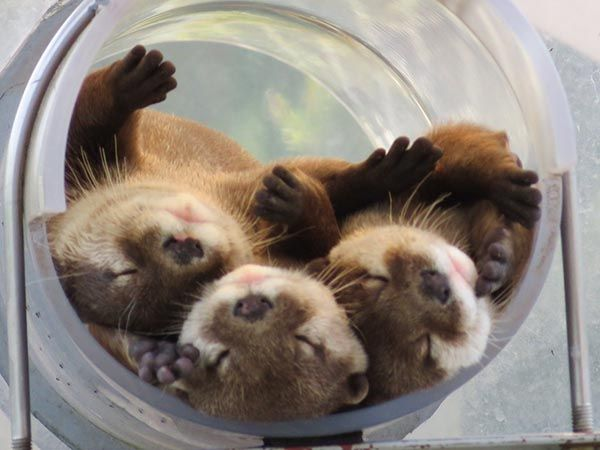 Otters Pile Up for a Nap in Their Ottertube