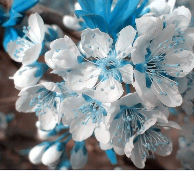 rare blue sky white cherry seeds, mini bonsai japanese sakura seeds, beautiful ornamental plants