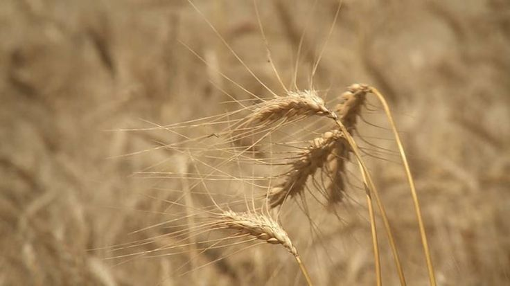 Texas Farm Bureau - HomeTiny seeds. To amber waves of grain. To our food, paper, adhesives, hair conditioners and more! That's wheat! (scheduled via http://www.tailwindapp.com?utm_source=pinterest&utm_medium=twpin&utm_content=post166968575&utm_campaign=scheduler_attribution)