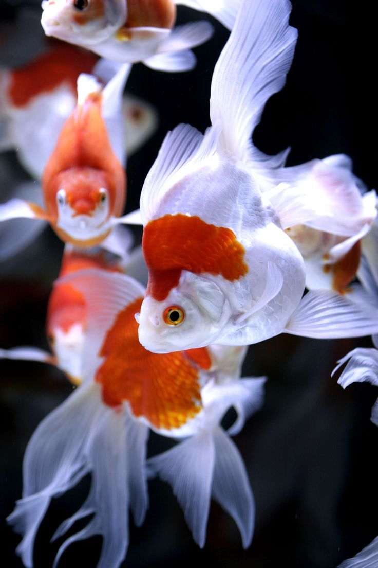 goldfish by rin-ka, via Flickr--such perfection, bordering on idolatry, even