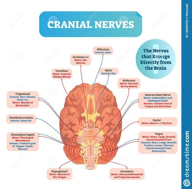 Diagram Of The Brain Labeled (With images) | Cranial ...