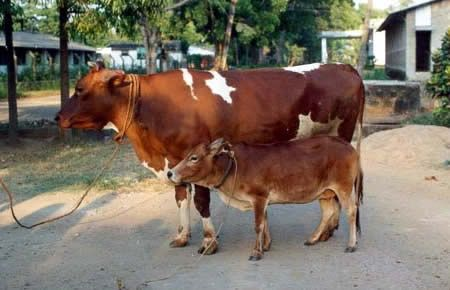 The world's smallest cattle is a rare breed of an Indian zebu called the Vechur cow. The average height of this breed of cattle is 31 to 35 inches (81 to 91 cm). The photo above shows a 16 year old Vechur cattle as compared to a 6 year old HF cross-breed cow.
