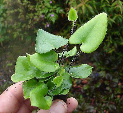 Hemionitis arifolia - heart fern