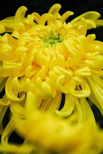 Yellow Chrysanthemum. Perennial Bush.