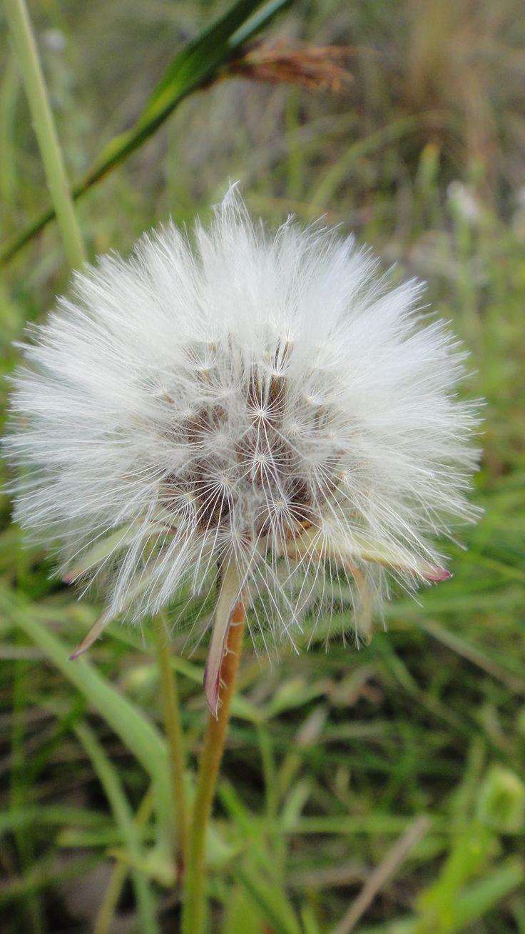 I'm pretty sure this isn't a wildflower. Make a wish!