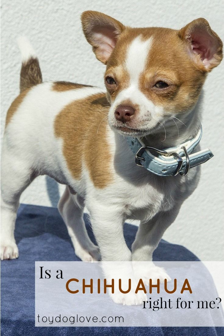 Thinking about bringing a Chihuhua home? Here's what you need to know about chihuahuas as pets - personality, adaptability, grooming and exercise needs and kid-friendliness.