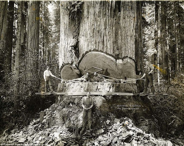 Men felling a Giant Redwood by hand in the 1920's..: