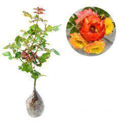Mawar Floribunda Orange Colorado Rp 45,000