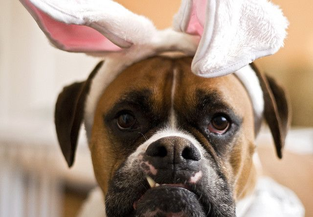 Boxer Dog Carrying Easter Basket Stock Image - Image of ...  Boxer Dogs With Bunnies