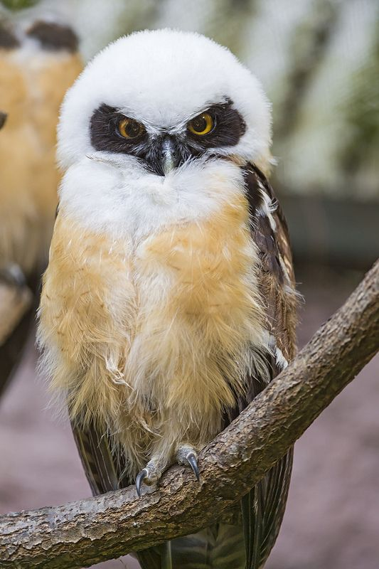 Perched juvenile Spectacled Owl by Tambako the Jaguar via Flickr.com