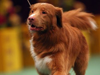 Maybe one day a Toller will win the big dog show.