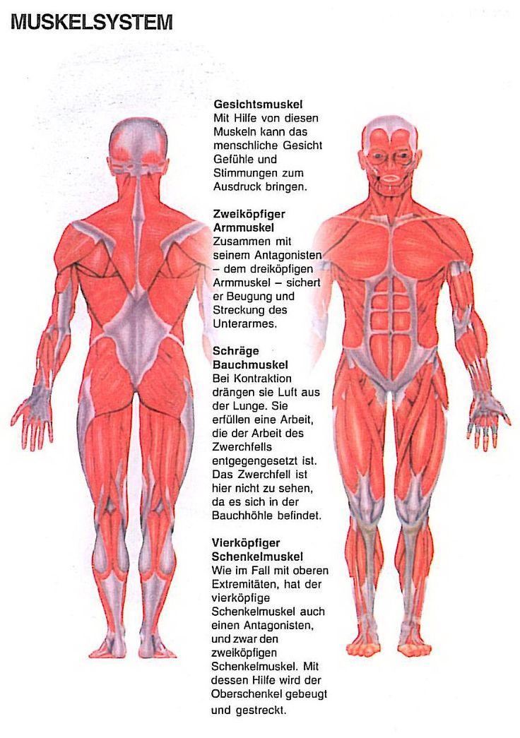 Gemütlich Bauch Muskel Fotos - Anatomie Ideen - finotti.info