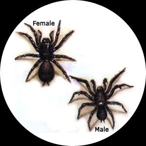"""Sydney Funnel Web Spider - There have been only 14 recorded deaths from this spider's bite. ALL deaths between 1927-1980 until the antivenom was introduced in 1980. In the off chance you should be bitten, Call Australia's Emergency Number 000...quickly state """"Ambulance required"""" ...quickly state  """"at such and such address""""... quickly repeat address, then give more info about your emergency."""