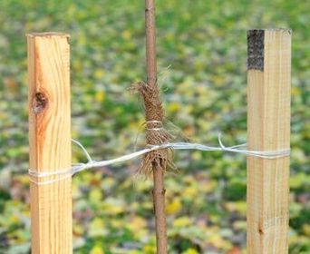 Learn how to stake a tree properly - including how long should you keep a tree staked and tree staking methods for staking a new tree for support.