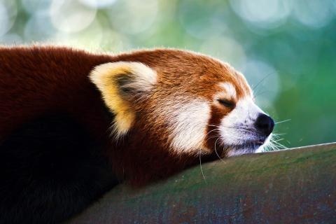 Dyr røde pandaer trær