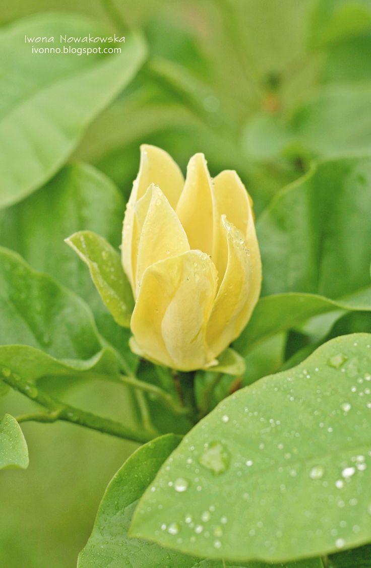 Magnolia 'Yellow Bird'