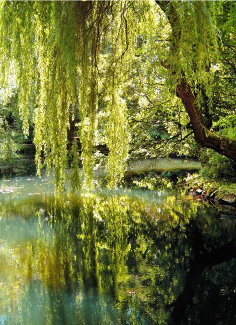 i love weeping willows. i wish i saw more of them